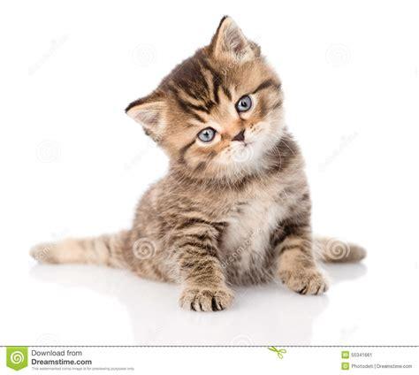 imagenes en blanco de gatos gatito brit 225 nico del gato atigrado del beb 233 que se sienta