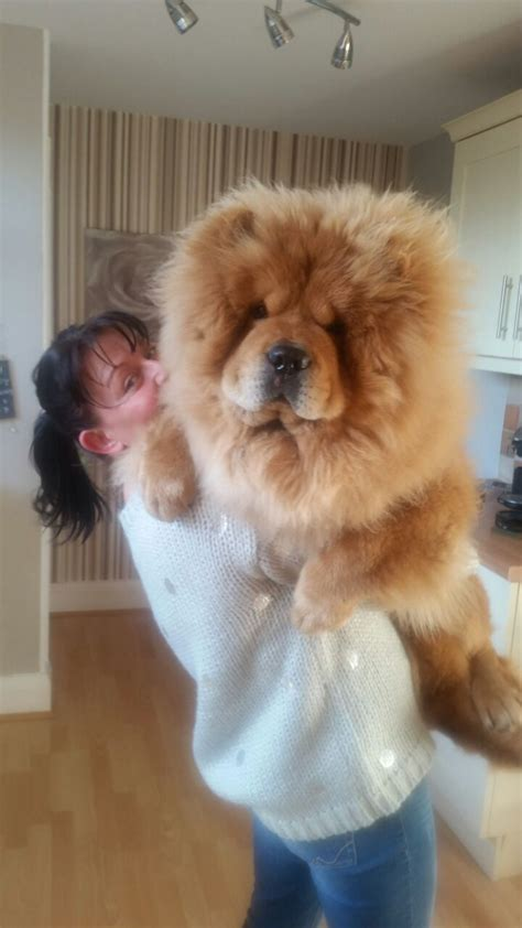 chow chow for sale chow chow for sale leicester leicestershire pets4homes