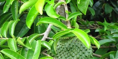 Obat Herbal Ace Max Untuk Apa cara mengobati diabetes dengan buah mengkudu ace maxs hebat