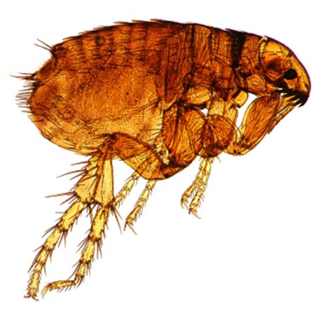fleas in my backyard fleas an ongoing battle for pet owners horne s pest control