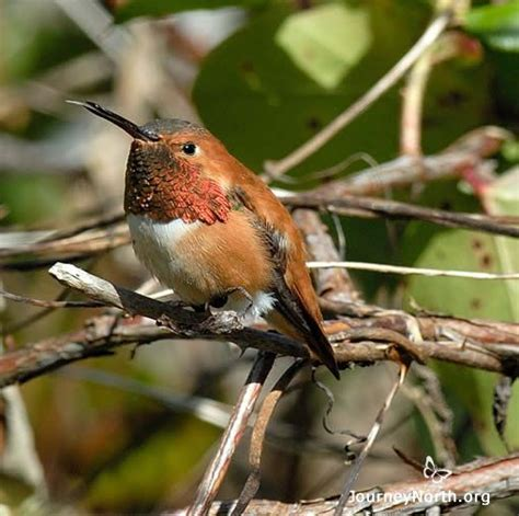 hummingbird spring migration news journey north