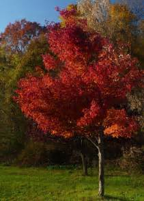 red maple tree care and planting growing red maple trees