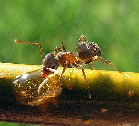 imagenes hormigas negras control de plagas tratamientos y como eliminar hormigas