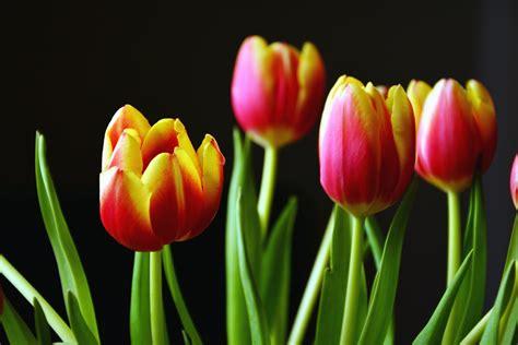 fiore tulipano foto gratis tulipano fiore petalo foglia primavera