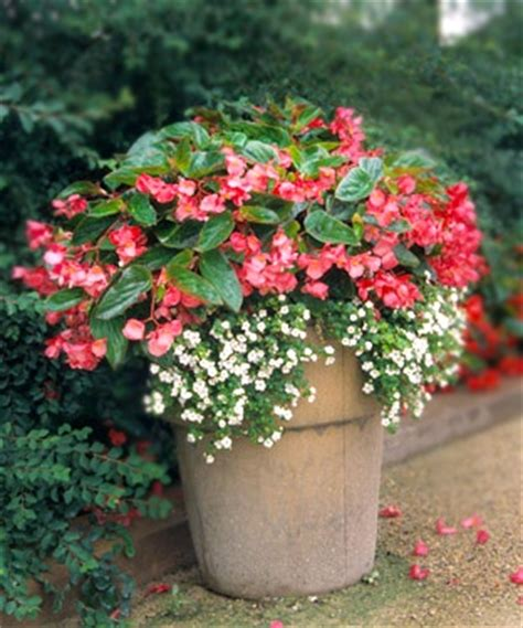 two plant simplicity 1 dragon wing begonia 2 bacopa balcony pinterest