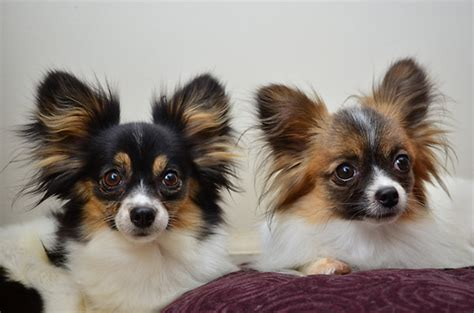 papillion tail how long to keep hair chion papillon chihuahua mix info temperament puppies