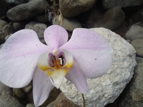 Wallpaper Bunga 545 wallpaper bunga anggrek bulan ungu putih dan batu besar
