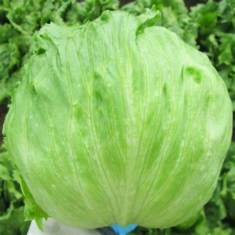 Iceberg Lettuce Elsa New Day Seed heirloom iceberg lettuce garden survival seeds grow