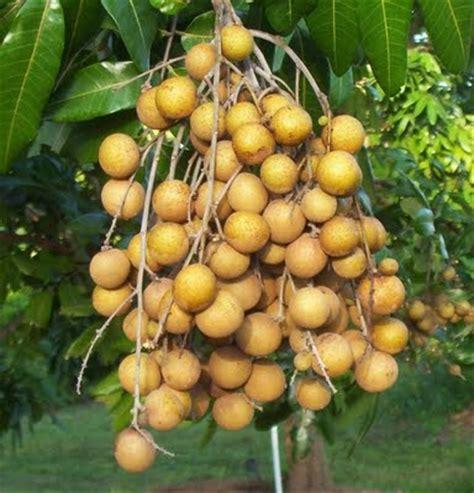 Bibit Rambutan Lengkeng khasiat buah lengkeng tomiandrifan