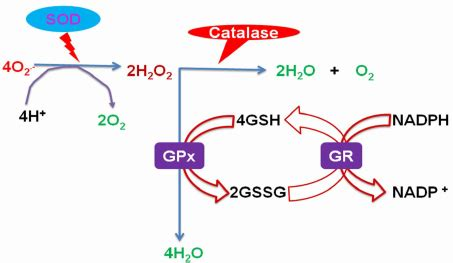 Cellar Antioxidant Defense And Detoxication System In The by Figure 2 Cellular Antioxidant Defense System