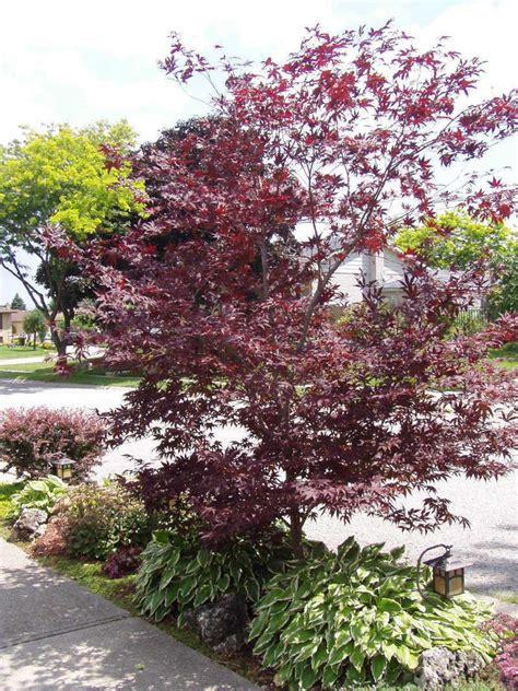 plantfiles pictures japanese maple emperor acer palmatum by willmetge