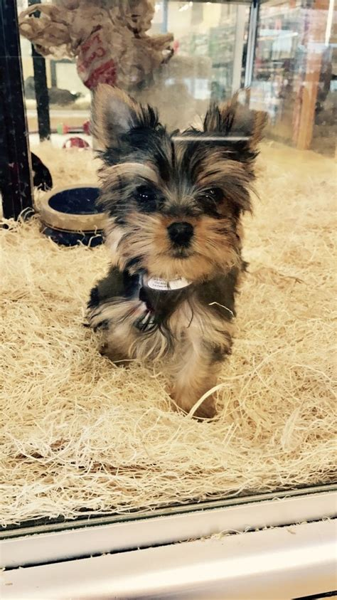 how to choose a yorkie puppy how to choose a yorkie puppy 14 steps with pictures wikihow