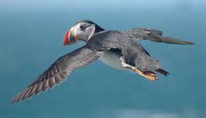 puffins can fly photatoes pinterest