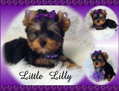breeders for teacup yorkies yorkies by elainea yorkie puppies for sale