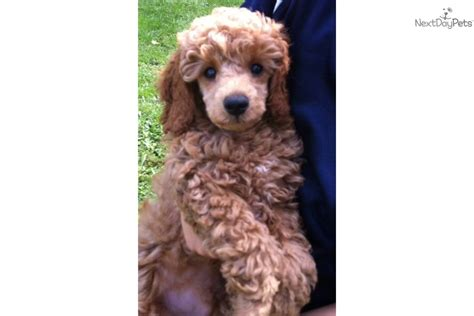 miniature poodle rescue indiana poodle miniature for sale for 800 near terre haute