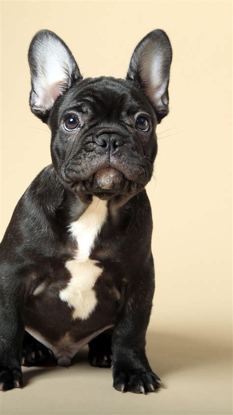 wallpaper french bulldog puppy cute animals  animals