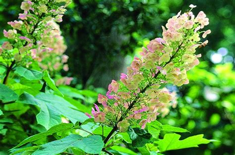 top 10 flowering shrubs shrubs for shade shade gardening top 10 birds and blooms