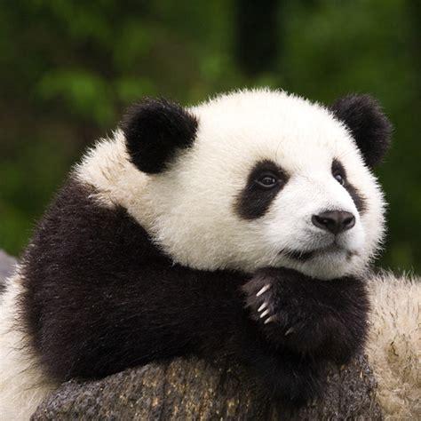 panda alimentazione perch 233 gli antenati dei panda hanno abbandonato la carne