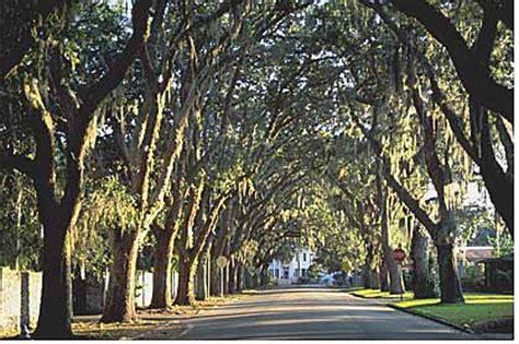 oak tree rubber st improve health maintenance landscape plants edward f