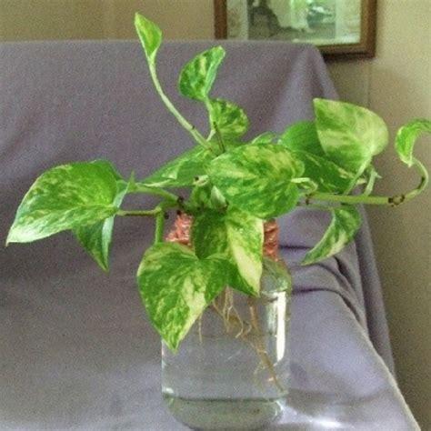 sirih gading tanaman bandel corak daun unik bibitbungacom