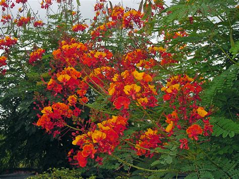 the attentive heart conversations with trees ebook diagram of a pride of barbados flower image collections
