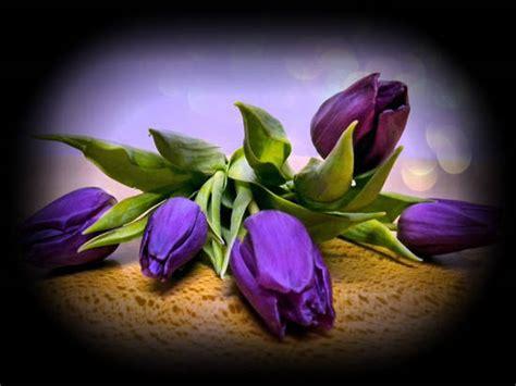 tulipano nero fiore significato tulipano nero fiori idea immagine