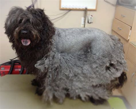 Mats In Dogs Hair by Why Severely Matted Hair Needs Professional Attention