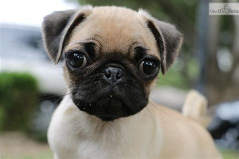 pug craigslist pug puppies for sale fort worth breeds picture