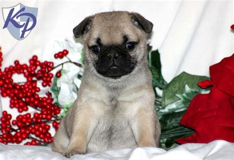 maltese pug mix for sale pug mixed with maltese pug mix purebred cross pug other mixed height na weight