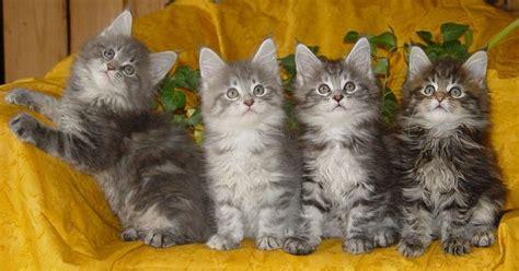 gratis kittens aangeboden kittens aangeboden afbeeldingen kittens aangeboden