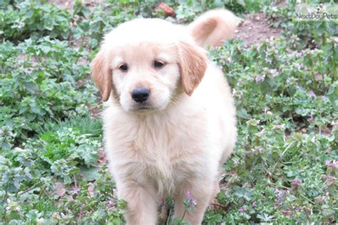 golden retrievers for sale in oklahoma golden retriever puppy for sale near tulsa oklahoma a784ed7b 2db1