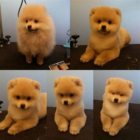 pomeranian haircut styles repinned before after grooming photos quot before