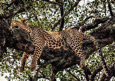 leopard sleeping: larry moran: galleries: digital