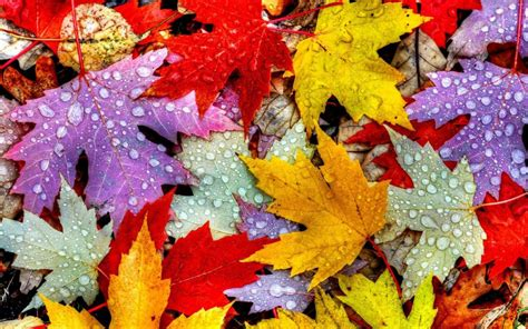 leaves autumn water drops yellow red purple wallpaper