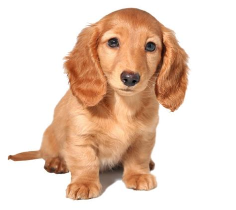 golden retriever dachsund 14 of the most adorable designer breeds in the world page 2 of 14
