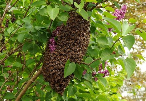 how to get rid of bees in house siding how to get rid of bees naturally professional bee hive removal guide