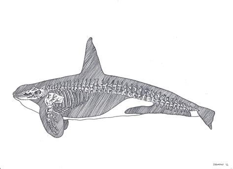 whale skeleton diagram skeleton killer whale journal of poetry