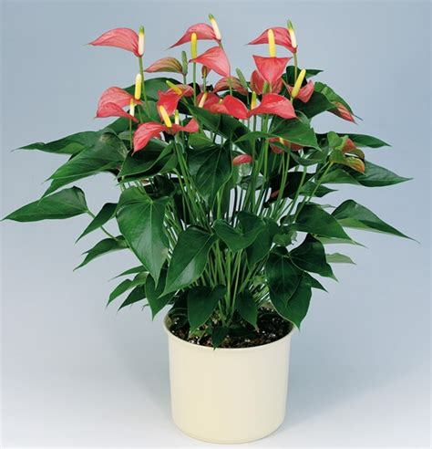 good house plants anthurium good house plant for the home pinterest