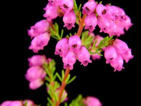 fiori di erica erica erica piante perenni caratteristiche dell erica