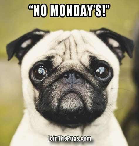 monday pug pug declares no monday s join the pugs