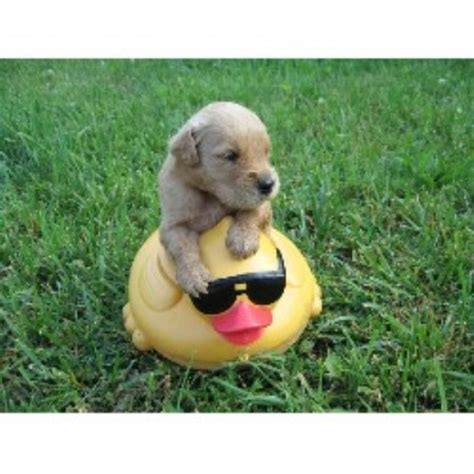 dog breeders puppies for sale michigan golden retriever puppies for sale in michigan