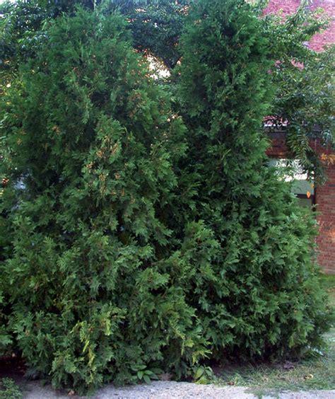cedar trees cedar tree pictures