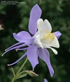 plantfiles pictures aquilegia species colorado blue