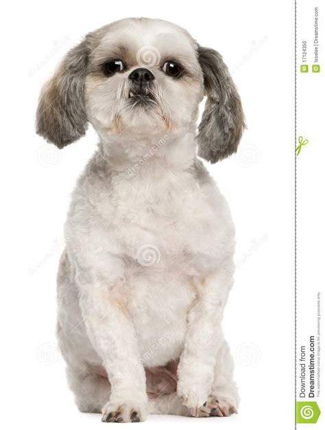 shih tzu sitting shih tzu 2 and a half years sitting stock photo image 17124350