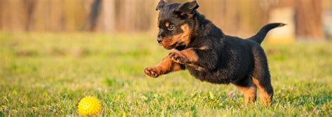 what is puppy play judging appropriate play with your new puppy vet4life