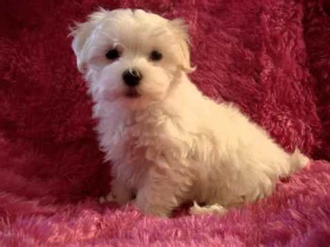 maltipoo puppies for sale ny teacup maltese maltipoo morkie yorkie poodle pom puppies for sale in los angeles