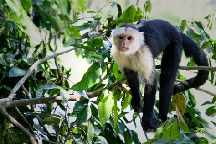 white faced capuchin animal wildlife