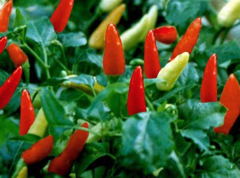 Bibit Cabai Rawit Merah citra agro mandiri cara menanam cabe rawit