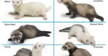 ferret colors ferret color variations www imgkid the image kid