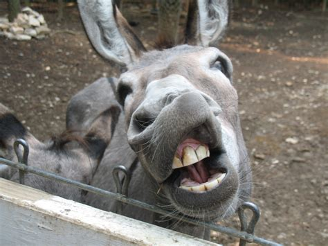 Burro Animal by Pin Burro Animal Pictures On